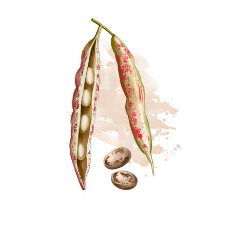 Borlotti bean. Digital art illustration of cranberry beans, Roman saluggia rosecoco bean. Phaseolus vulgaris. Organic healthy food. Vegetable bean with splashes. Hand drawn. Clip art graphic design.