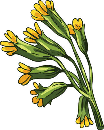 Cowslip vector illustration. Primula veris, common primrose officinalis Hill, herbaceous perennial flowering plant in primrose family Primulaceae. Blooming yellow flowers and green leaves
