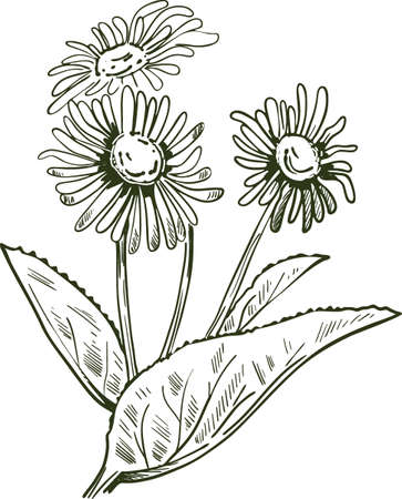 Elecampane isolated vector illustration. Inula helenium, horse-heal elfdock, widespread plant species in sunflower family Asteraceae. Used in manufacture of absinthe, yellow flowers, green leaves