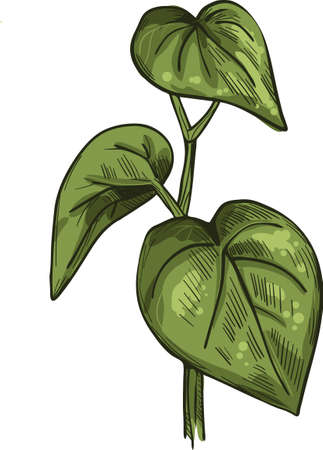 Kava isolated vector illustration. Kava-kava pepper crop, green bitter leaves. awa or ava, yaqona sakau, seka and malok or malogu. Herb with adverse effect, medical remedy plant handdrawn