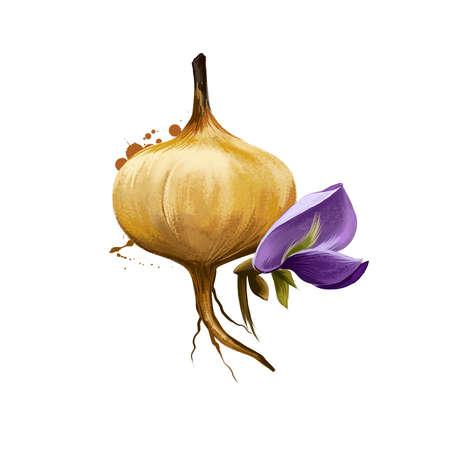 Jicama, Pachyrhizus erosus isolated on white background. Organic healthy food. Brown root vegetable. Hand drawn plant closeup. Clip art illustration. Graphic design element. Digital art illustration Stockfoto