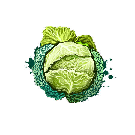 Kale or leaf cabbage, Brassica oleracea drawing isolated on white background. Organic healthy food. Green vegetable. Hand drawn plant closeup. Clip art illustration. Graphic design element. Digital art