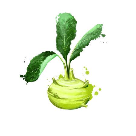 Digital art Kohlrabi, Brassica oleracea or turnip cabbage isolated on white background. Organic healthy food. Green vegetable. Hand drawn plant closeup. Clip art illustration. Graphic design element
