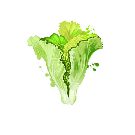 Digital art illustration of Lettuce or Lactuca sativa isolated on white background. Organic healthy food. Green vegetable. Hand drawn plant closeup. Clip art illustration. Graphic design element