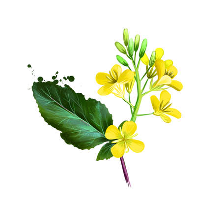 Mustard greens, Brassica juncea isolated on white background. Organic healthy food. Green vegetable. Hand drawn plant closeup. Clip art illustration. Graphic design element. Digital art illustration