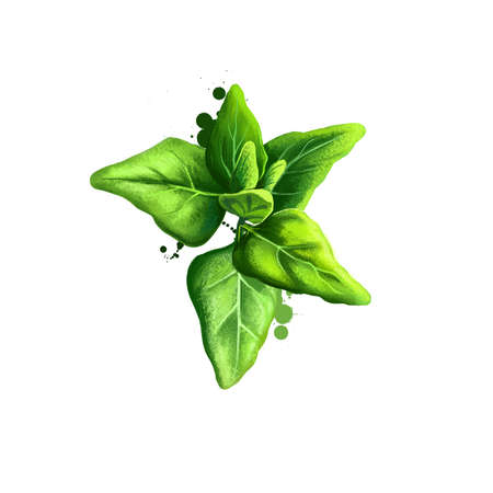Digital art New Zealand spinach, Tetragonia tetragonioides isolated on white background. Organic healthy food. Green vegetable. Hand drawn plant closeup. Clip art illustration. Graphic design element Stockfoto