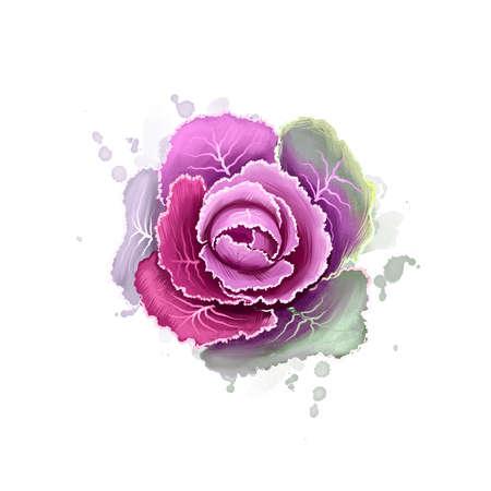 Ornamental kale isolated on white. Digital art illustration of Brassica oleracea. Organic healthy food. Purple leaf cabbage vegetable. Hand drawn plant closeup. Clip art graphic design element. Stockfoto