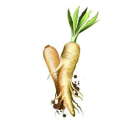 Parsnip or Pastinaca sativa isolated on white background. Organic healthy food. Green vegetable. Hand drawn plant closeup. Clip art illustration. Graphic design element. Digital art illustration Stockfoto