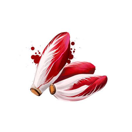 Radicchio or Cichorium intybus isolated on white background. Organic healthy food. Red vegetable. Hand drawn plant closeup. Clip art illustration. Graphic design element. Digital art illustration