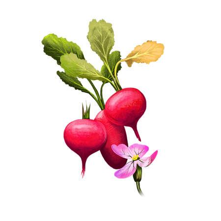 Radish or Raphanus raphanistrum isolated on white background. Organic healthy food. Red vegetable. Hand drawn plant closeup. Clip art illustration. Graphic design element. Digital art illustration
