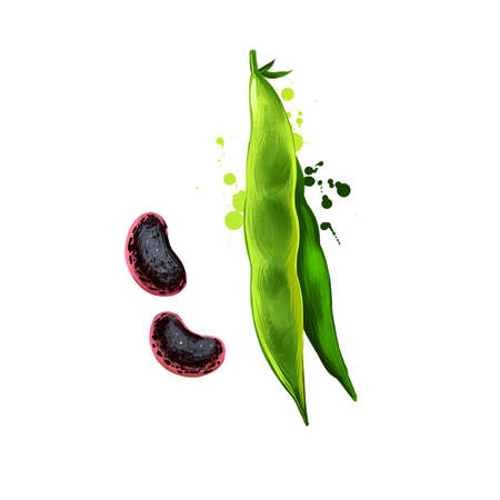 Runner beans isolated on white. Phaseolus coccineus, known as scarletr bean or multiflora bean plant in legume. Digital art illustration. Organic healthy food. Green vegetable. Graphic design element.