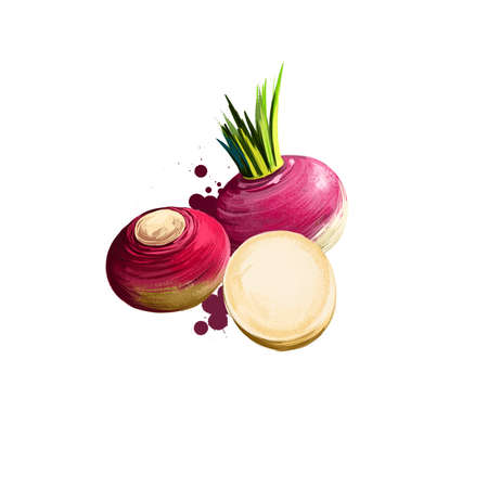 Rutabaga or Brassica napus isolated on white background. Organic healthy food. Red root vegetable. Hand drawn plant closeup. Clip art illustration. Graphic design element. Digital art illustration