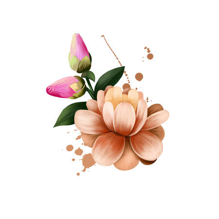 Camellia japonica isolated on white. Hand drawn flowering bush Japanese camellia. Colorful botanical drawing. Greeting card, birthday, anniversary, wedding graphic clip art. Digital art illustration Stockfoto
