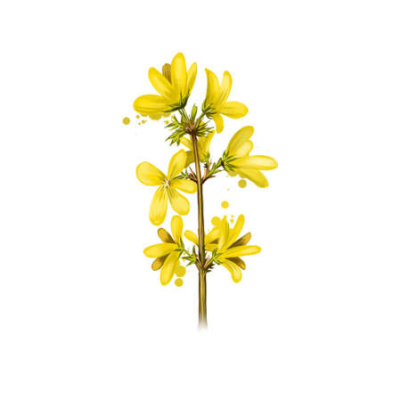 Forsythia isolated on white. Hand drawn flowering bush of Oleaceae family. Colorful botanical drawing. Greeting card, birthday, anniversary, wedding graphic clip art design. Digital art illustration