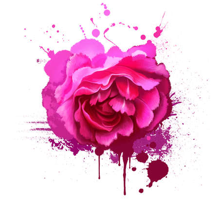 Pink rose isolated on white. Floral background. Romantic wallpapers. Wallpaper design. Family Rosaceae. Elegantsummer flower. Fashionable plant. Greeting card design. Postcard with splashes Stockfoto