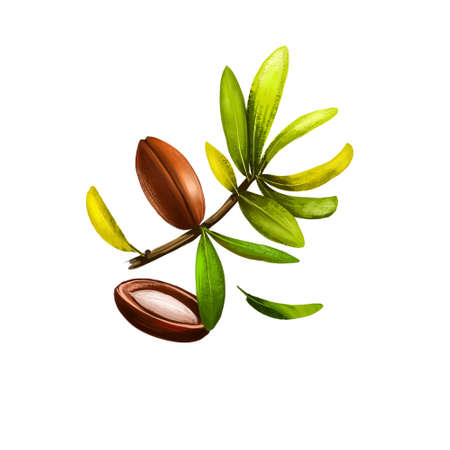Argan nut or Argania spinosa isolated on white background. Organic healthy food. Digital art with paint splashes drops effect. Graphic clip art for design, web and print. Hand drawn illustration