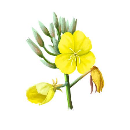 Evening Primrose Oenothera herbaceous flowering plant, family Onagraceae. Common evening primrose, suncups, and sundrops. Yellow primroses genus Primula digital art illustration, herbal plant