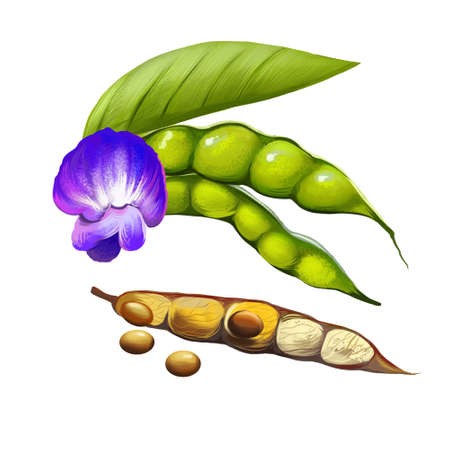 Pigeon pea fresh and dried fruit and flower isolated on white. Cajanus cajan perennial legume from family Fabaceae. Food grain source of protein. Tropical green pea. No-eye pea. Digital art