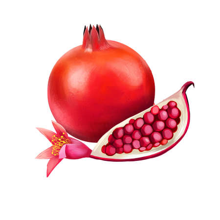Pomegranate seeds and flower isolated. Punica granatum, is fruit-bearing deciduous shrub in family Lythraceae. Used in baking, cooking, juice blends, meal garnishes, smoothies, alcoholic beverages