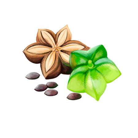 Sacha Inchi digital art illustration isolated on white. Plukenetia volubilis, sacha inchi peanut, mountain Inca nut or Inca-peanut, perennial plant Euphorbiaceae with small trichomes on leaves