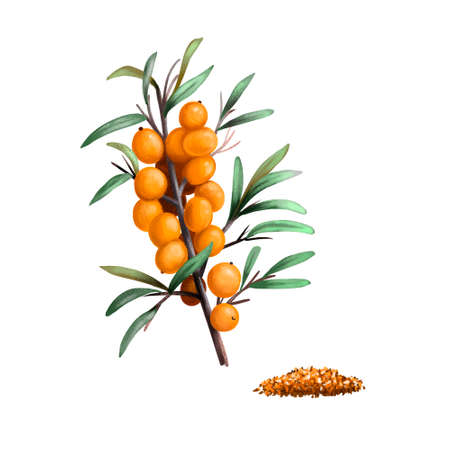 Sea Buckthorn fruits and seeds, Hippophae fruit isolated. Sea buckthorns, deciduous shrubs in family Elaeagnaceae. Sandthorn, Sallowthorn, or seaberry. Digital art watercolor illustration