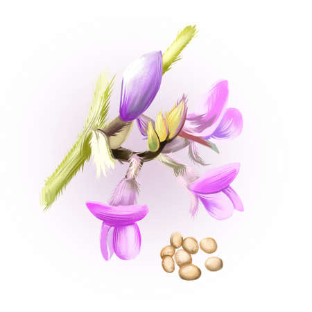 Soy beans isolated on white. Glycine max, commonly known as soybean, species of legume grown for edible bean. Digital art illustration. Organic healthy food. Green vegetable. Graphic design element. Фото со стока