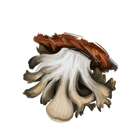 Grifola frondosa polypore mushroom grows in clusters at trees, hen of the woods, rams and sheeps head. Edible fungus isolated on white. Digital art illustration, natural food autumn harvest fall crop