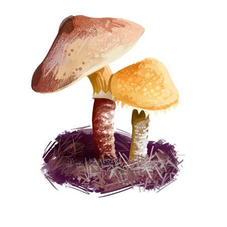 Cystoderma amianthinum parasol, saffron powder-cap, small orange-ocher, or yellowish-brown, gilled mushroom. Edible fungus isolated on white. Digital art illustration, natural food autumn harvest