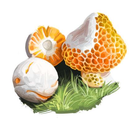 Cyttaria espinosae Digguene Lihuene or Quidene, orange-white colored edible ascomycete fungus native to Chile. Edible fungus isolated on white. Digital art illustration, natural food autumn harvest Reklamní fotografie - 157943437