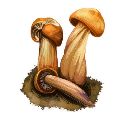 Gymnopus fusipes Collybia gilled mushroom in Europe and often grows in large clumps. Edible fungus isolated on white. Digital art illustration, natural food autumn harvest or fall crop, raw food