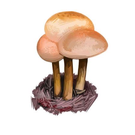 Gymnopus dryophilus mushroom Collybia dryophila Levipedes of the genus. Edible fungus isolated on white. Digital art illustration, natural food autumn harvest or fall crop, national food Reklamní fotografie