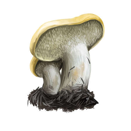 Helvella lacunosa slate gray saddle fluted black elfin ascomycete fungus of the family Helvellaceae isolated on white. Digital art illustration, natural food, package label. Autumn harvest fungi on grass