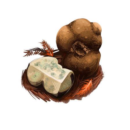 Kalapuya brunnea, Oregon brown truffle in monotypic fungal genus Kalapuya. Digital art illustration, natural food. Autumn harvest fungi on grass, healthy organic meal. Clipart, web print design Reklamní fotografie