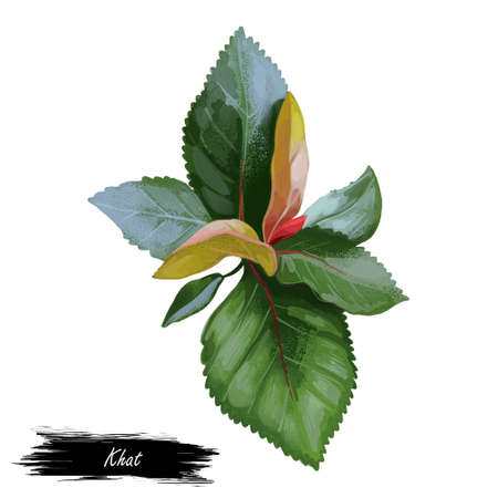 Khat or qat, Catha edulis, flowering plant native to Ethiopia. Khat with alkaloid cathinone, stimulant cause excitement, loss of appetite, and euphoria. Herb with adverse effect, medical remedy plant Reklamní fotografie