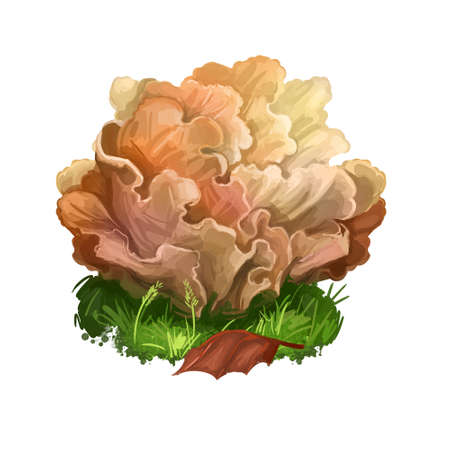 Sparassis crispa or cauliflower fungus, mushroom closeup digital art illustration. Lobes flat and curly, coloured creamy yellow. Mushrooming season, plant of gathering plants growing in forest