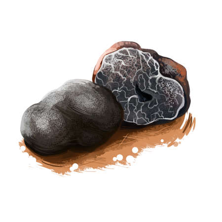 Tuber brumale, Muscat or Winter truffle mushroom closeup digital art illustration. Boletus has black fruit body and grows under ground. Mushrooming season, plants growing in woods and forests