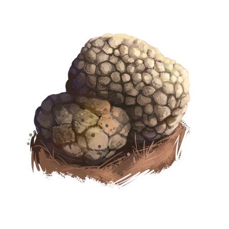 Tuber aestivum, summer or burgundy truffle mushroom closeup digital art illustration. Boletus brown outer skin forms pyramidal warts. Mushrooming season, plant of gathering plants growing in forest Stok Fotoğraf