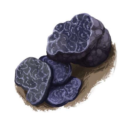 Tuber indicum, Cup fungi or truffle mushroom closeup digital art illustration. Boletus has dark violet fruit body and grows under ground. Mushrooming season, plants growing in woods and forests Stok Fotoğraf