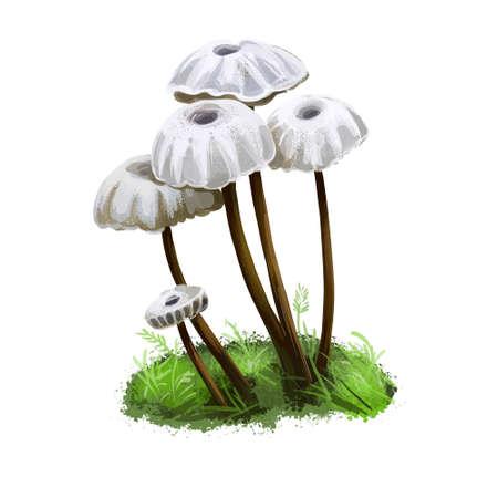Marasmius rotula, pinwheel or little wheel, collared parachute or horse hair mushroom digital art illustration. Boletus has thin stem and white cap. Mushrooming season, plants growing in forests