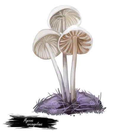 Mycena arcangeliana, angel bonnet or late season mushroom closeup digital art illustration. Boletus has thin stem white colored cap and fruit body. Mushrooming season, growing in woods and forests.