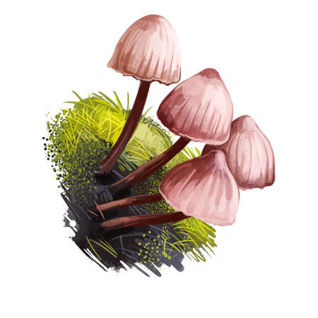 Mycena haematopus, bleeding fairy helmet or burgundydrop bonnet mushroom closeup digital art illustration. Boletus has thin stem and reddish white colored cap. Plants growing in woods and forests.