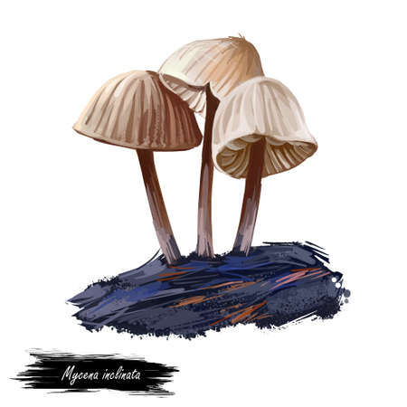 Mycena inclinata, clustered bonnet or oak stump cap mushroom closeup digital art illustration. Boletus has thin stem and cream color of body. Mushrooming season, plants growing in woods and forests Reklamní fotografie