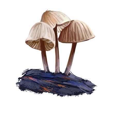 Mycena inclinata, clustered bonnet or oak stump cap mushroom closeup digital art illustration. Boletus has thin stem and cream color of body. Mushrooming season, plants growing in wood and forest Stok Fotoğraf