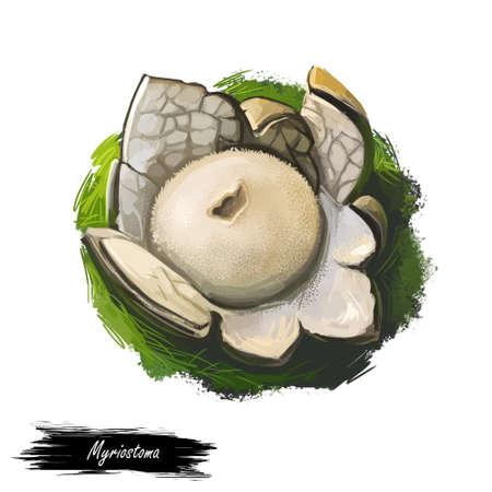 Myriostoma coliforme, salt shaker earthstar or pepperpot mushroom closeup digital art illustration. Boletus has thin stem and grey color of body. Mushrooming season, plants growing in wood and forest