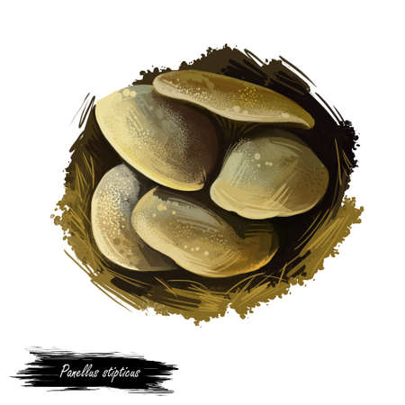 Panellus stipticus, bitter oyster or astringent panus, luminescent panellus or stiptic mushroom closeup digital art illustration. Boletus has greyish yellow fruit body and grows on trees, in forest
