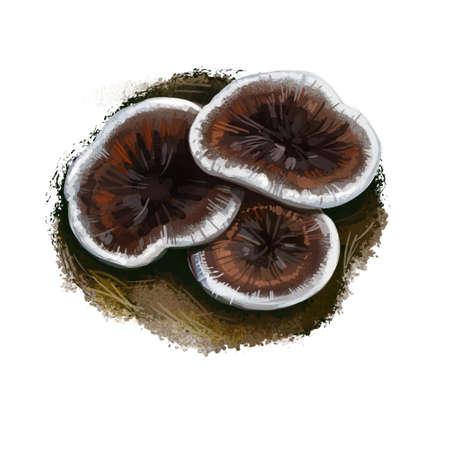 Phellodon tomentosus or zoned cork hydnum mushroom closeup digital art illustration. Boletus has brown cap with white margin. Mushrooming season, plant of gathering plants growing in wood and forest