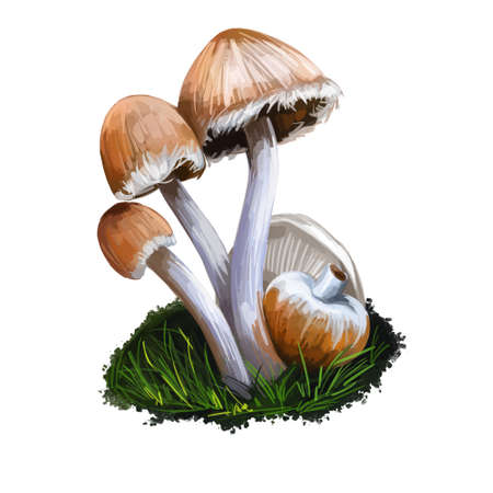 Genus Psathyrella mushroom, fungus closeup digital art illustration. Boletus has drab colored cap and thin white stem. Mushrooming season, plant of gathering plants growing in woods and forests
