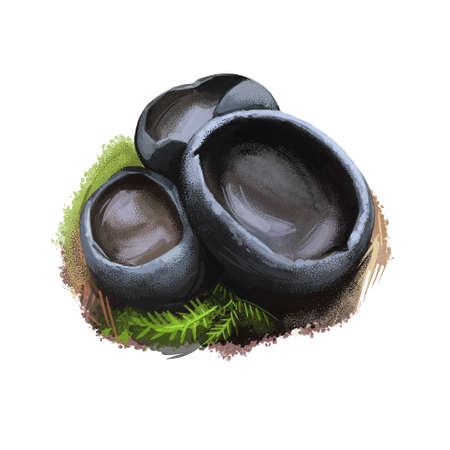 Pseudoplectania nigrella or ebony cup, black false plectania mushroom closeup digital art illustration. Small blackish cups. Mushrooming season, plant of gathering plants growing in wood and forest