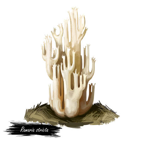 Ramaria stricta or strict branch coral mushroom closeup digital art illustration. Boletus has white or cream fruit body. Terminal branches finely divided into sharp tips. Plants growing in water
