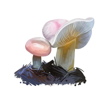 Russula betularum or birch brittlegill mushroom closeup digital art illustration. Boletus has pinky white cap with central depression. Mushrooming season, plant of gathering plants growing in forest Stok Fotoğraf